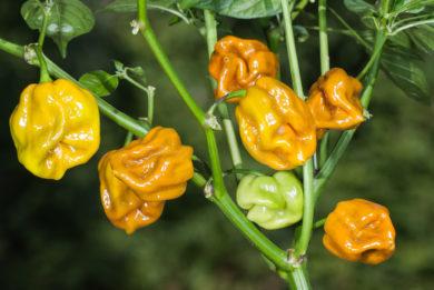 Kalocsai Determinált 601 - Capsicum annuum - variedad de chile