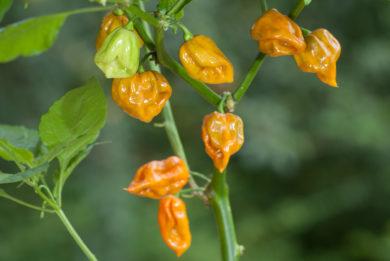 Mcmahon's Texas Bird Pepper - Capsicum sp.