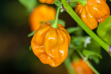 Chilli Felallo - Capsicum annuum