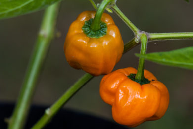 Local - Capsicum annuum
