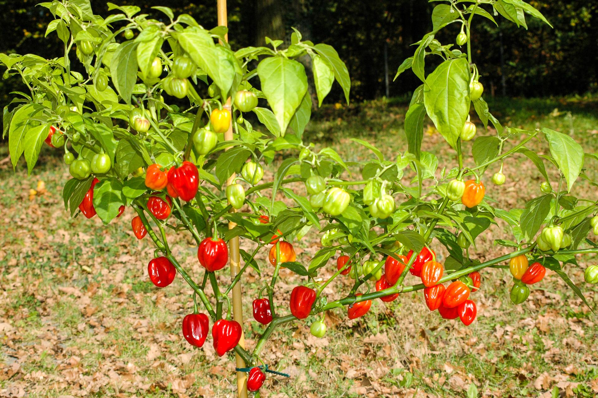 PI 315012 - Capsicum chinense - Chilisorte