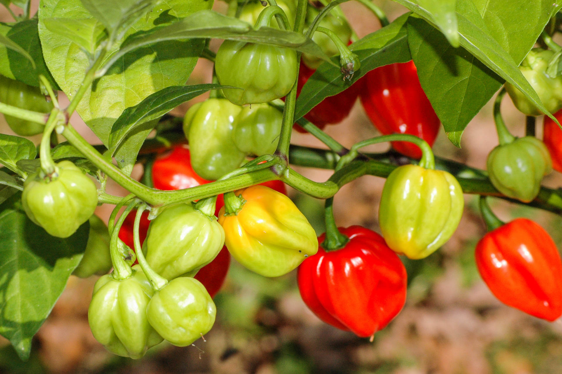 1611 - Capsicum annuum - Chilisorte