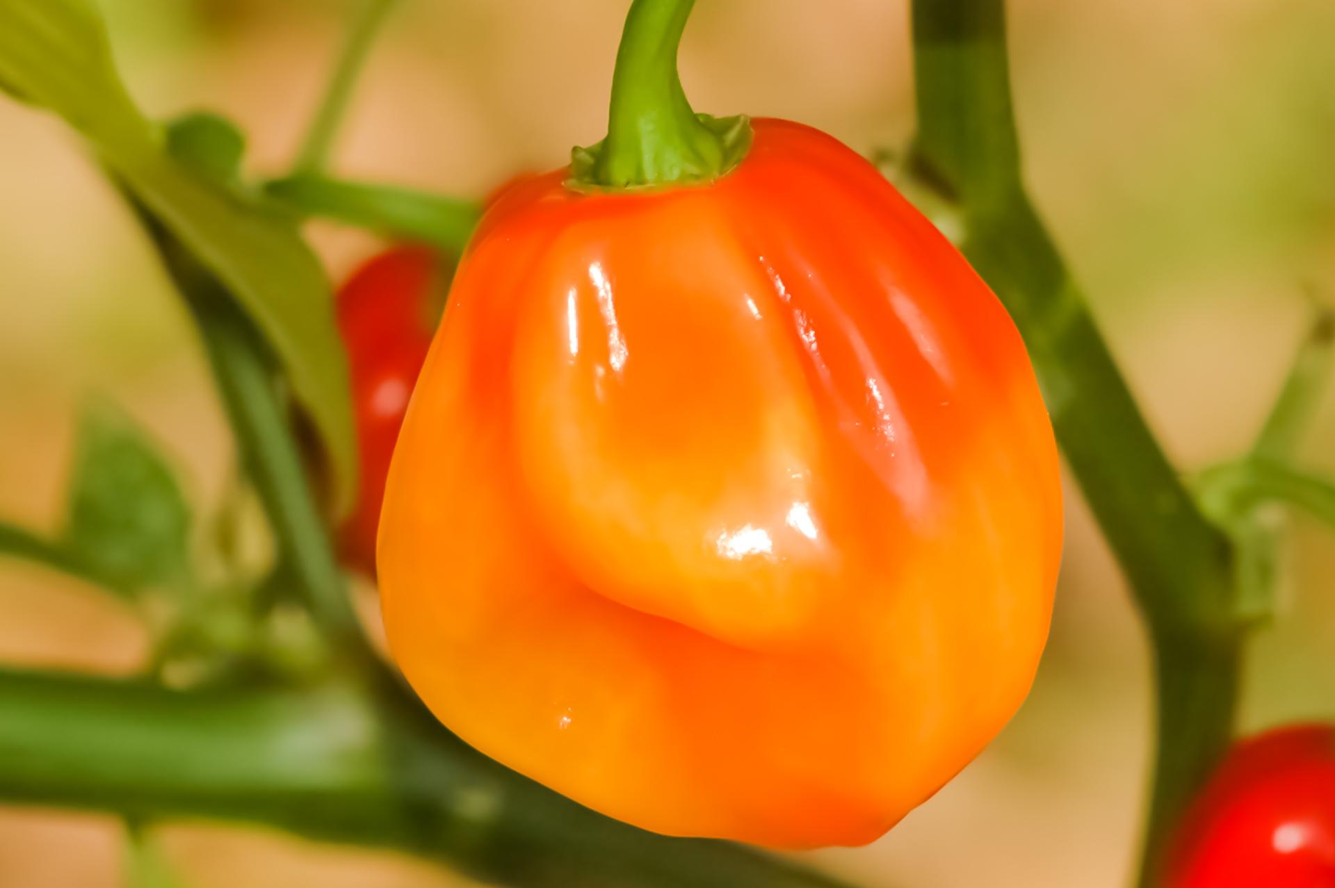 Patio Germ - Capsicum annuum - Chilisorte