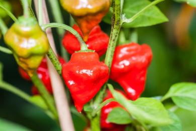 Deghin Erkar - Capsicum annuum - variedad de chile