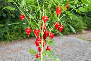 Mix Istanbul - Capsicum annuum - variedad de chile