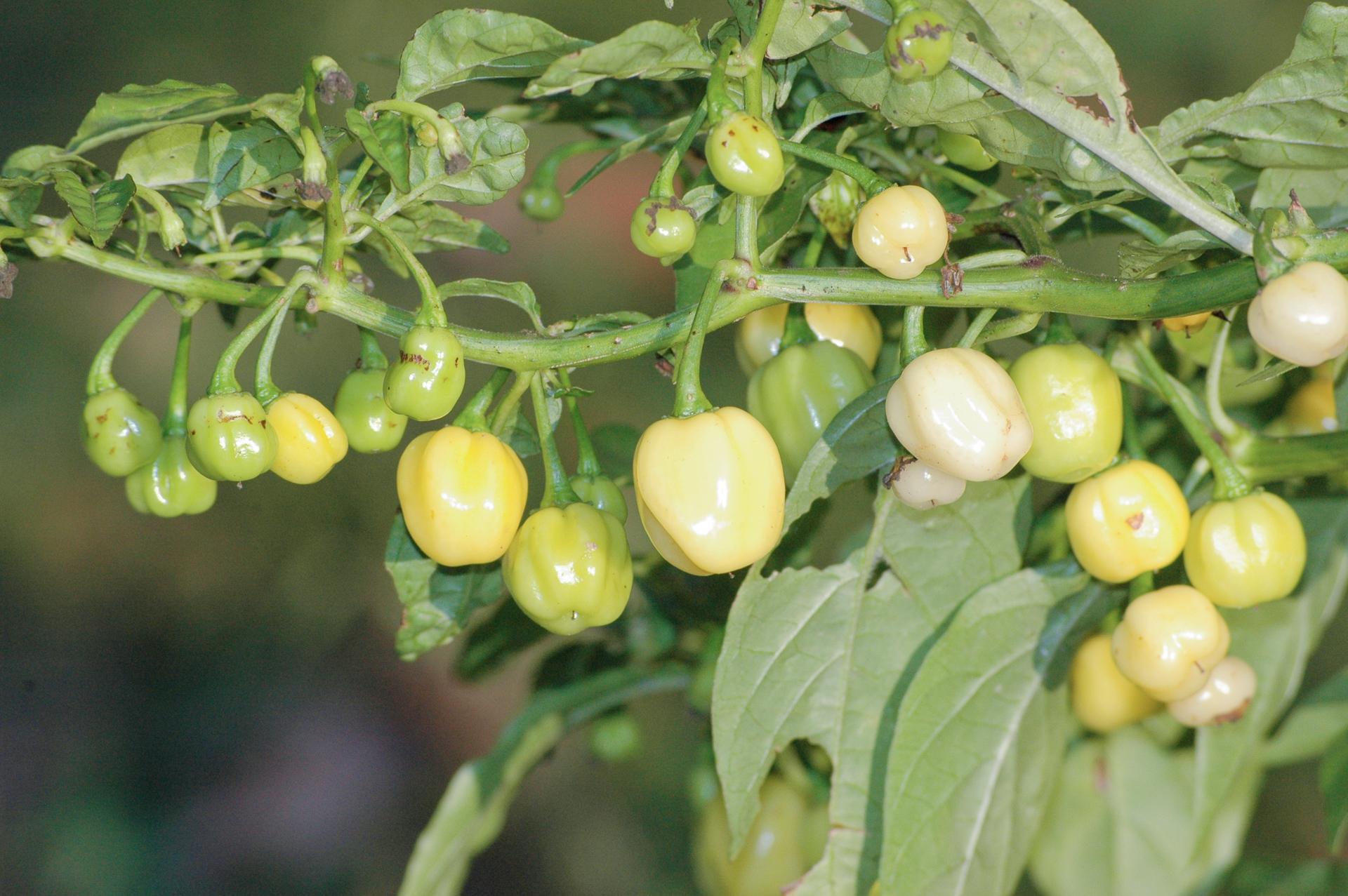 Monoszlói Tf - Capsicum annuum - variedad de chile