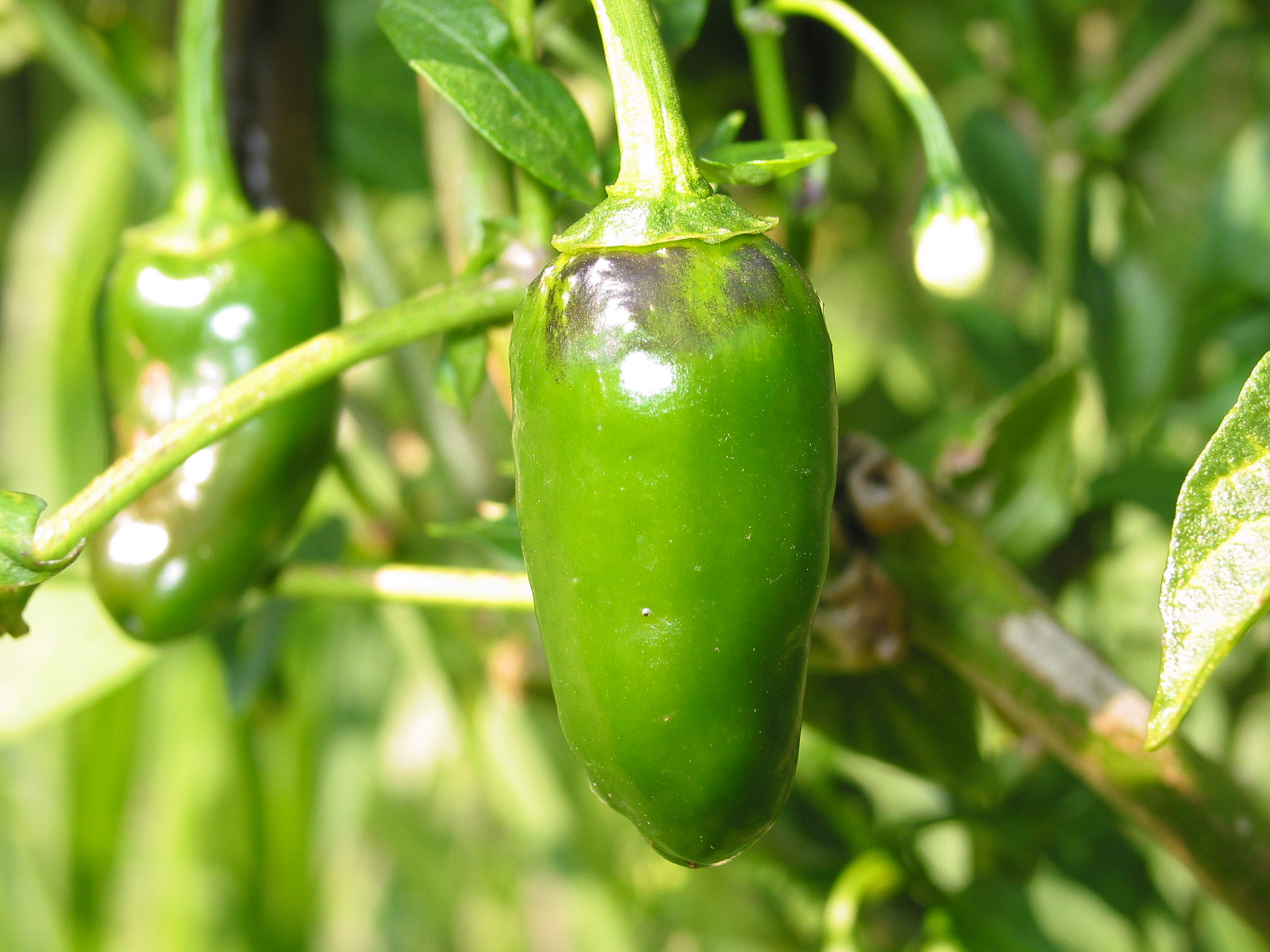 960564 - Capsicum annuum - Chilisorte