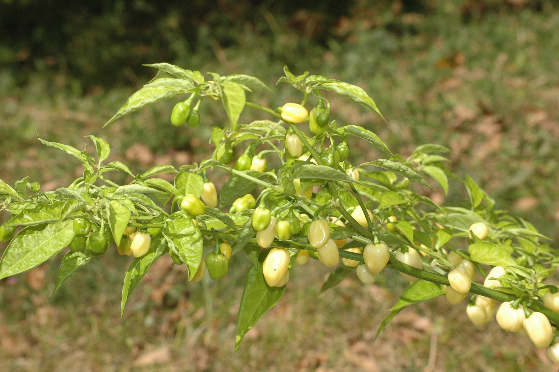 Num-525 - Capsicum annuum - variedad de chile