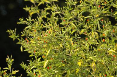 CAP 202 - Capsicum frutescens