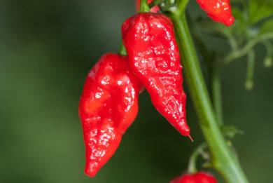 Kupasta Sipka - Capsicum annuum - variedad de chile