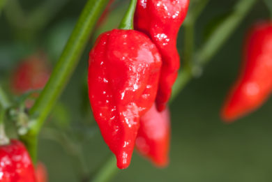 Pimiento - Capsicum annuum - variedad de chile