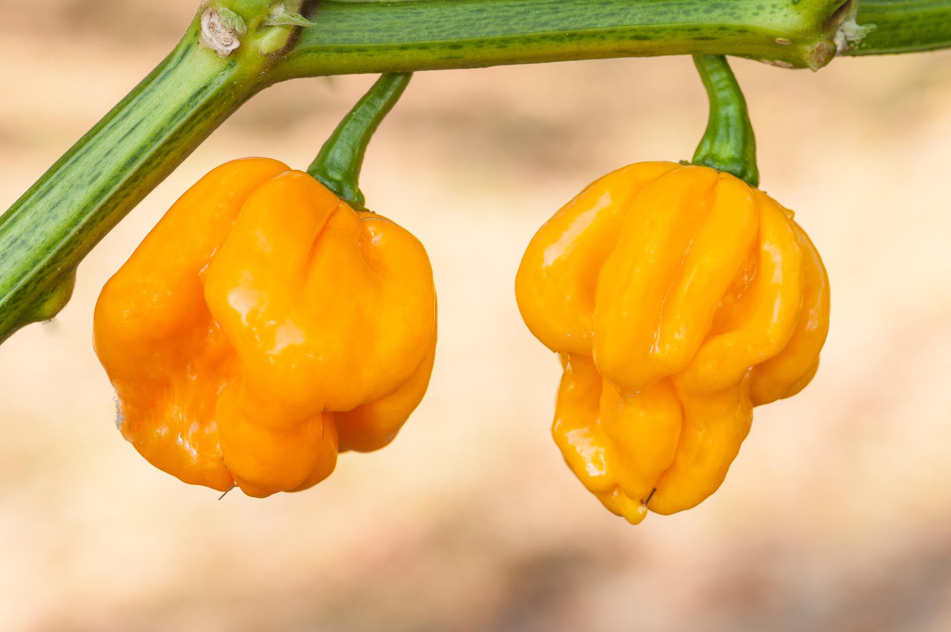 Vayki Ktsu - Capsicum annuum - Chilisorte