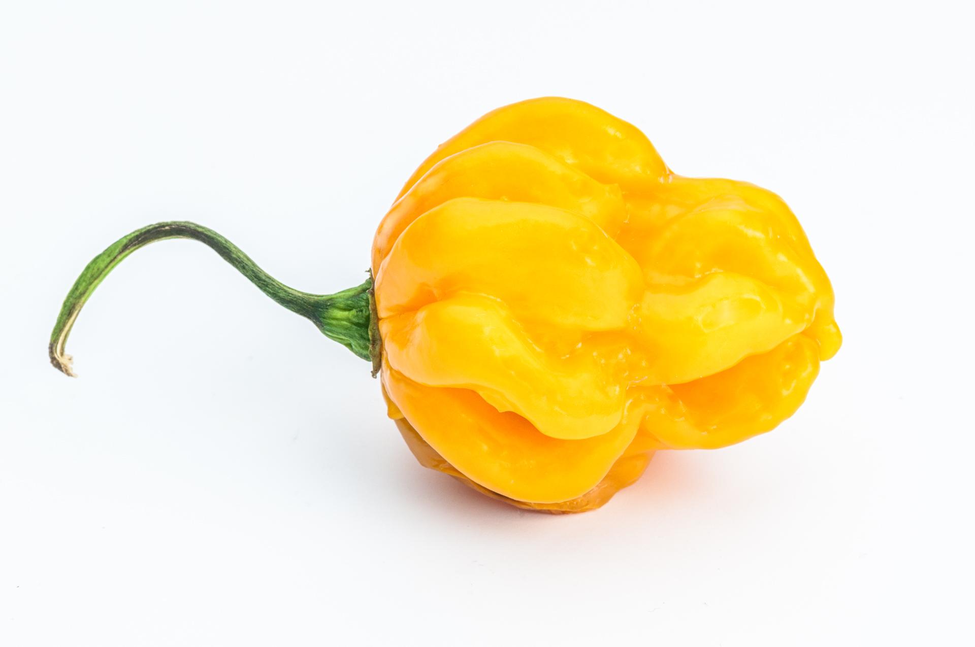 Chilhuacle Amarillo - Capsicum sp. - Chilisorte