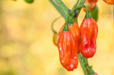 Chile Habanero Rojo - Capsicum chinense