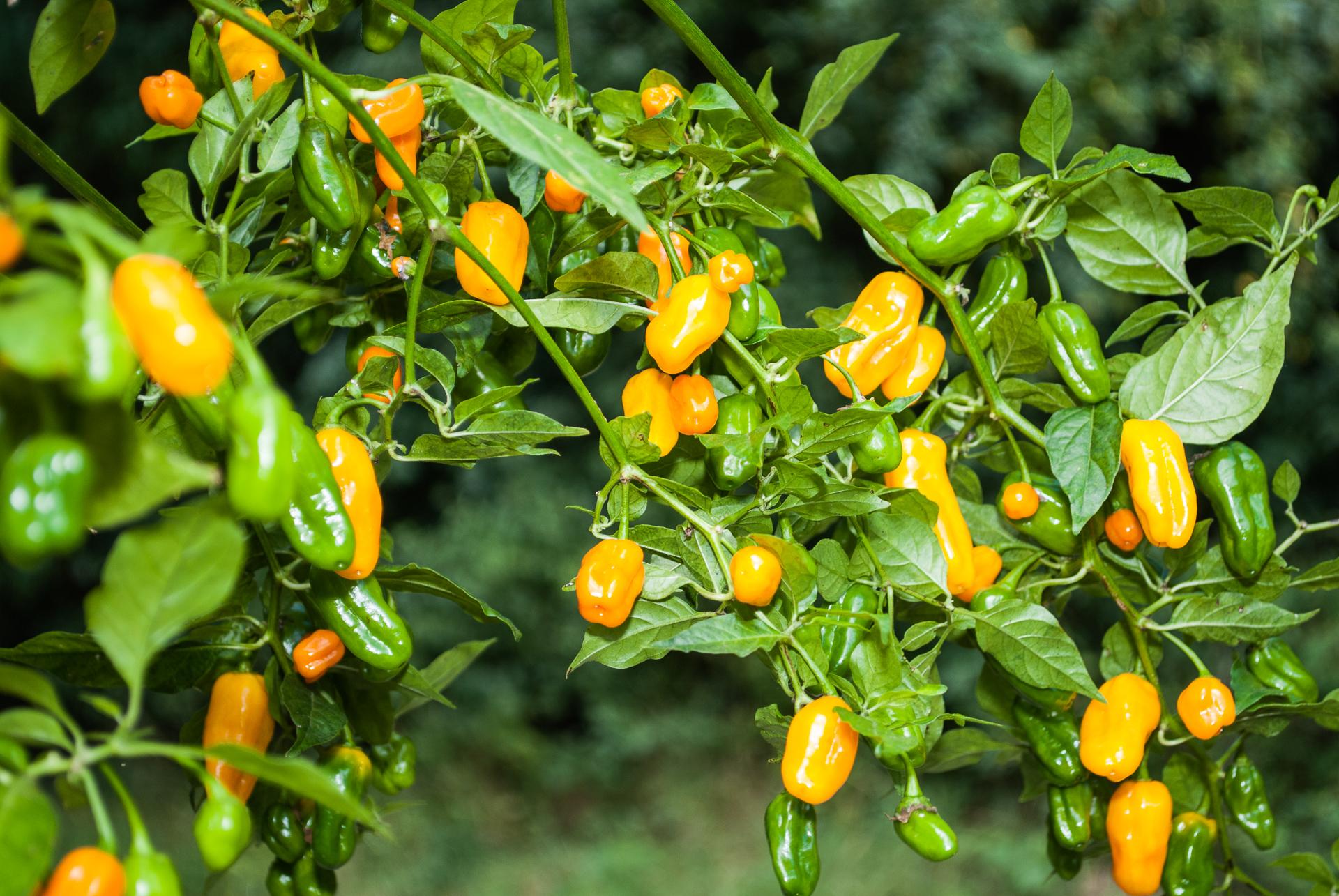 Grif 15019 - Capsicum flexuosum - Chilisorte