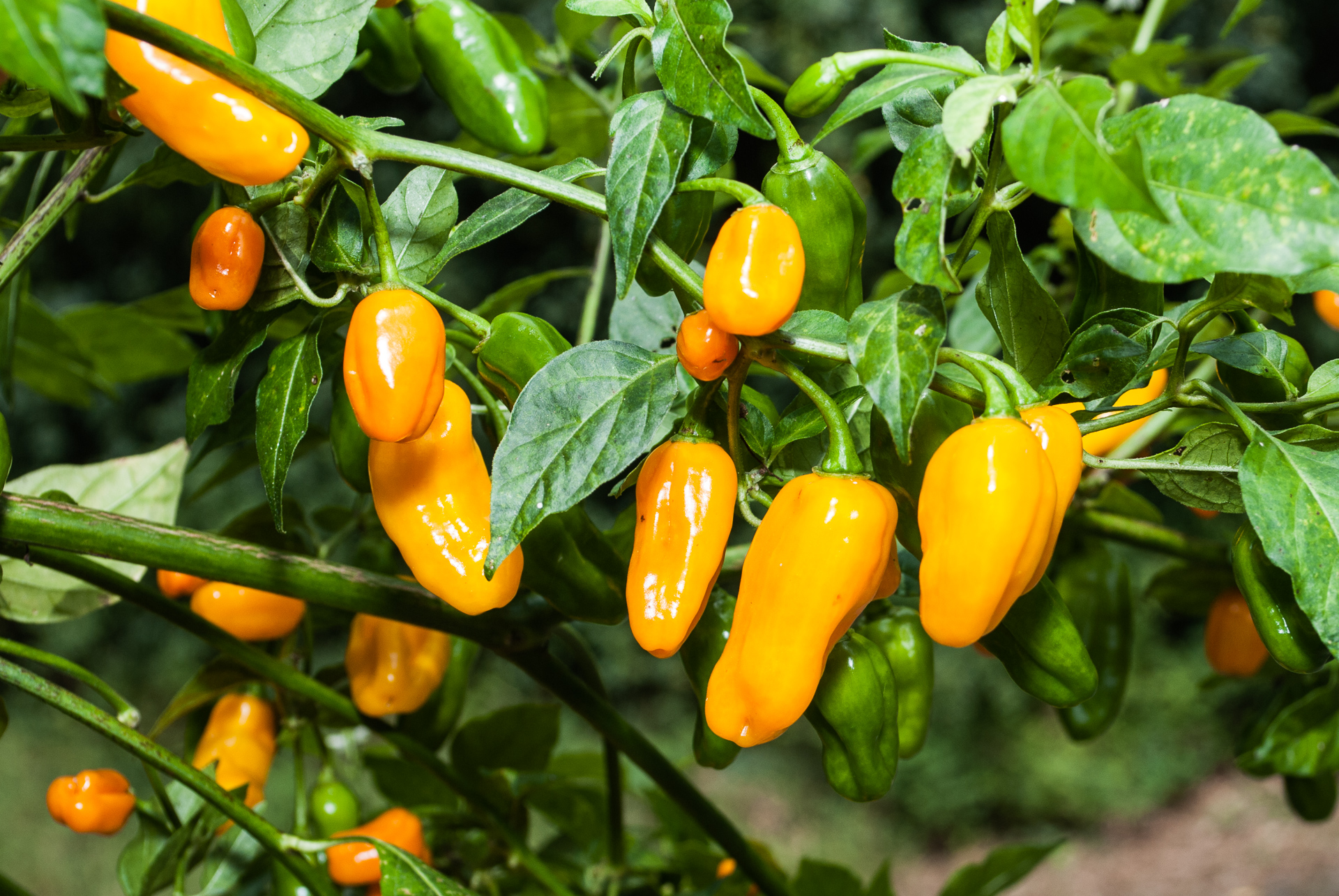 CAP 1360 - Capsicum chinense - Chilisorte