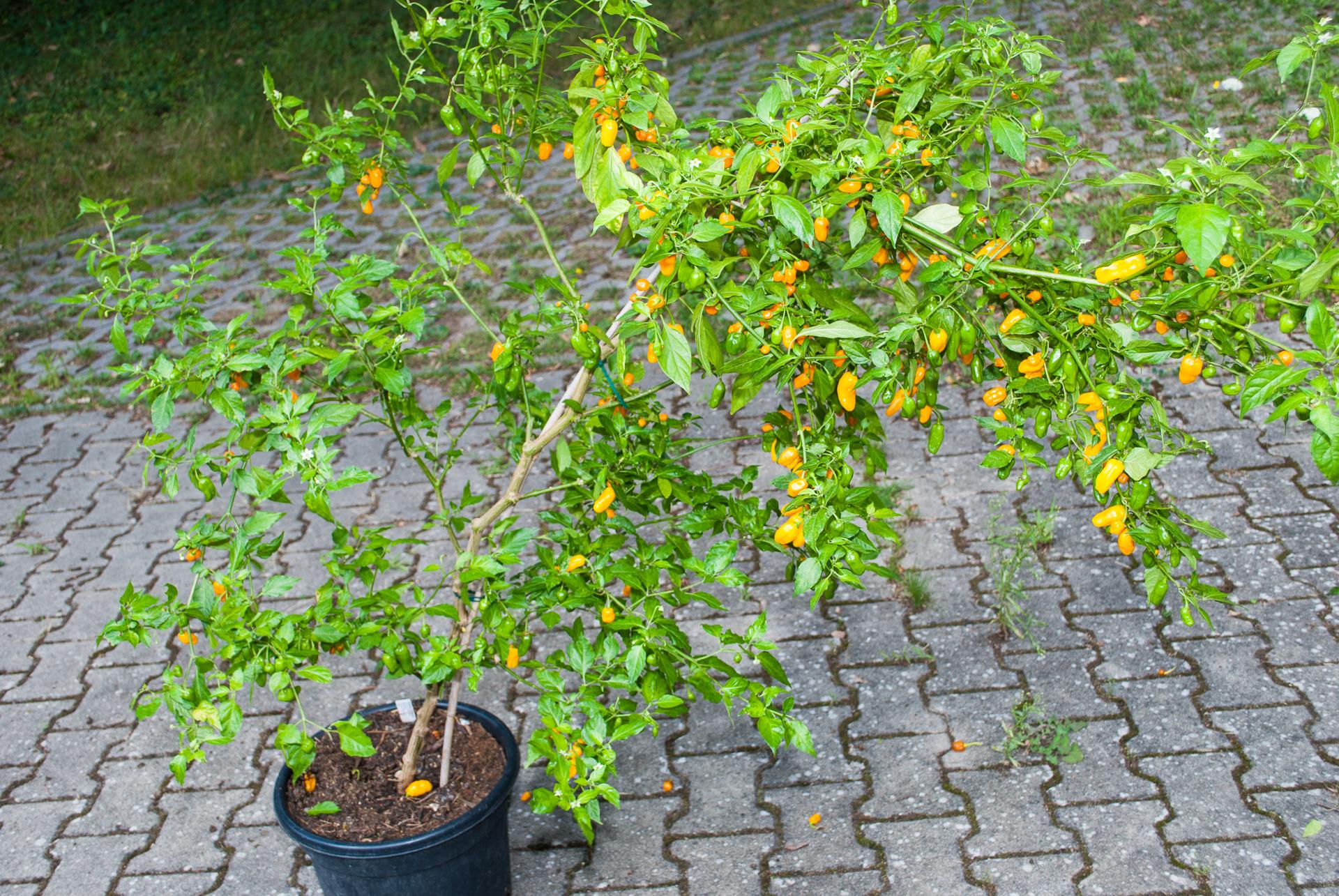 1552 - Capsicum annuum - variedad de chile