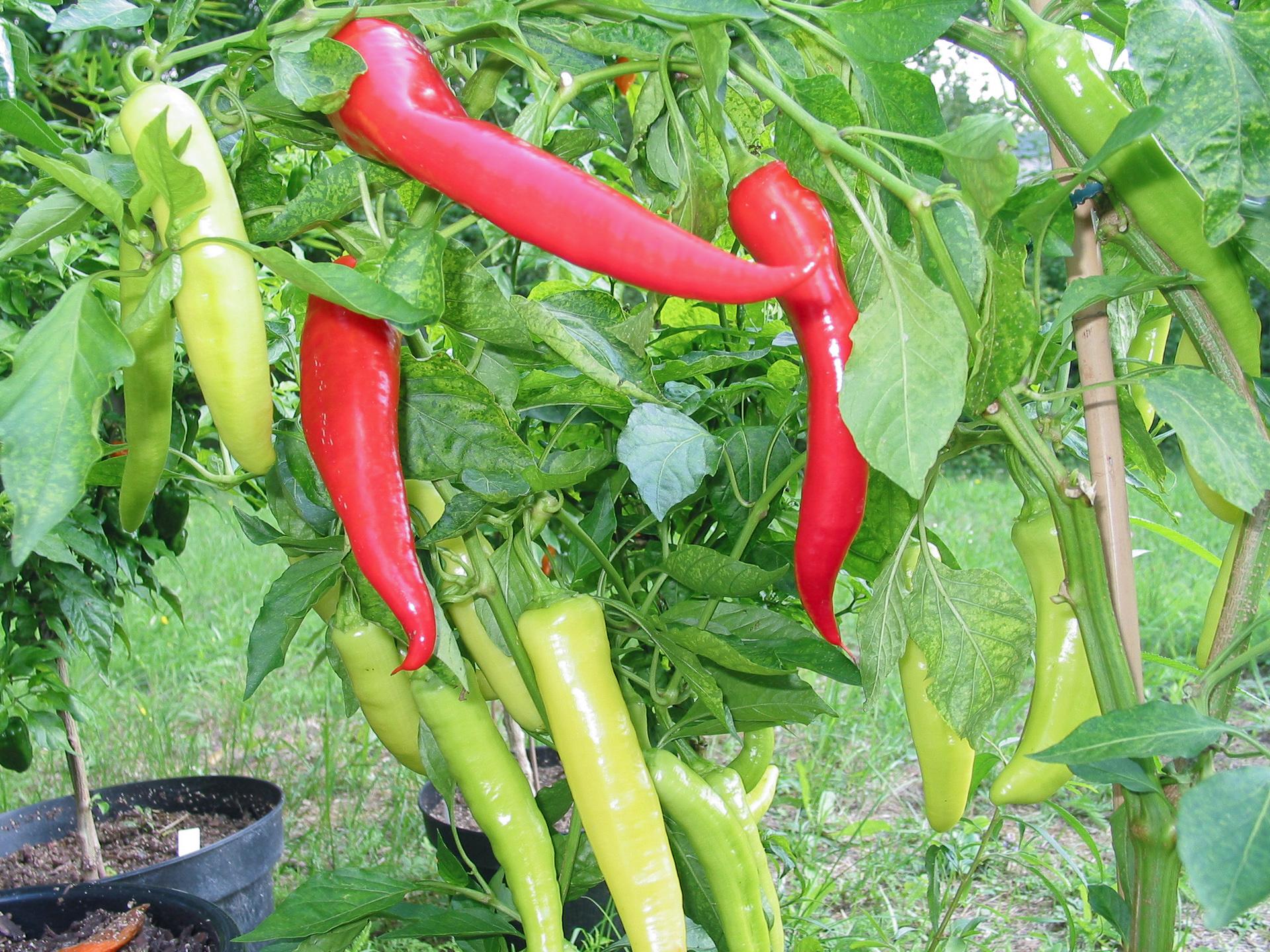 Goccia D'Oro - Capsicum sp. - Chilisorte