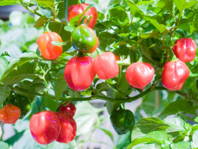 Ft - 20 Giallo F6 - Capsicum annuum