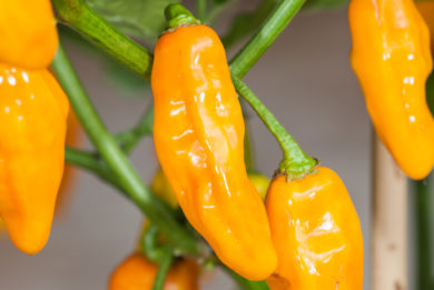 Mishme Royal Gold Selection - Capsicum chinense