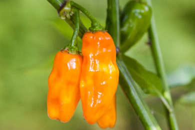 California Wonder - Capsicum annuum - variedad de chile