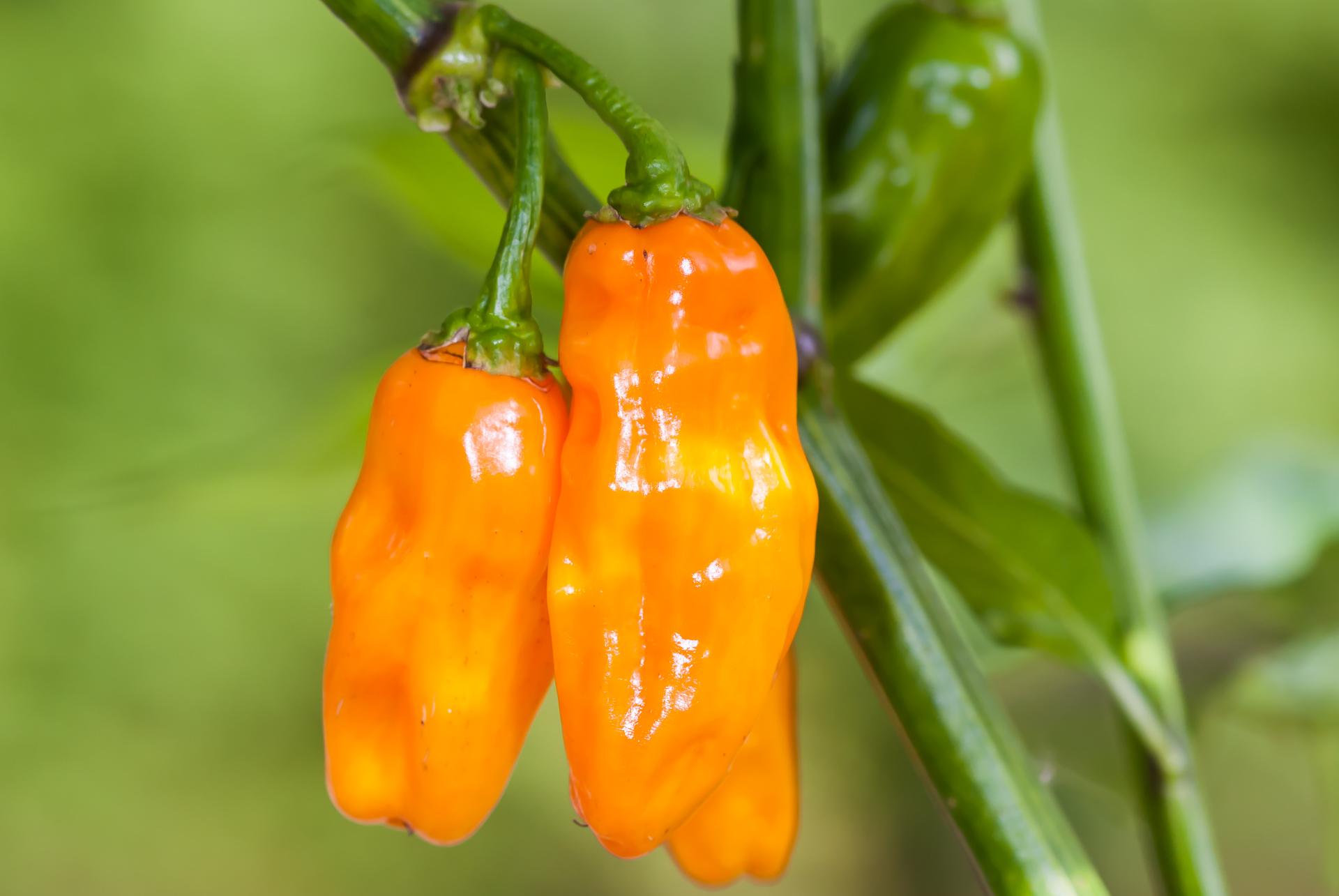 Ghana Round - Capsicum annuum - Chilisorte