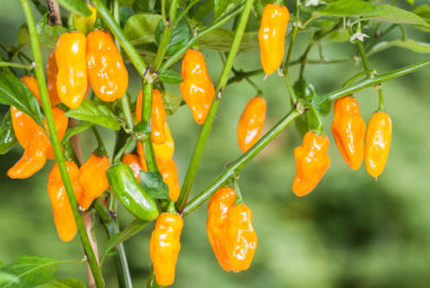 Oakview Wonder - Capsicum annuum - variedad de chile