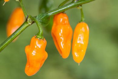 Lo 2 - Capsicum annuum - variedad de chile