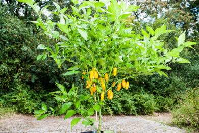 Sweet pepper - Capsicum annuum
