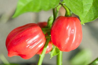 Nora Sweet - Capsicum annuum - variedad de chile