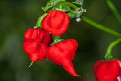Arevaham - Capsicum annuum - variedad de chile