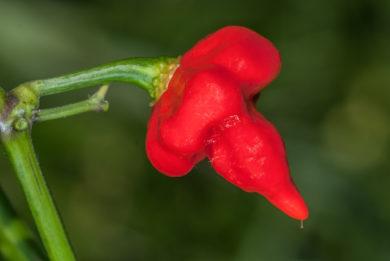 Green No 100 - Capsicum annuum - variedad de chile