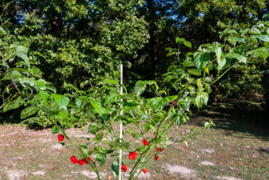 Local - Capsicum annuum - variedad de chile