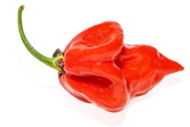 Bolilla - Capsicum annuum - variedad de chile