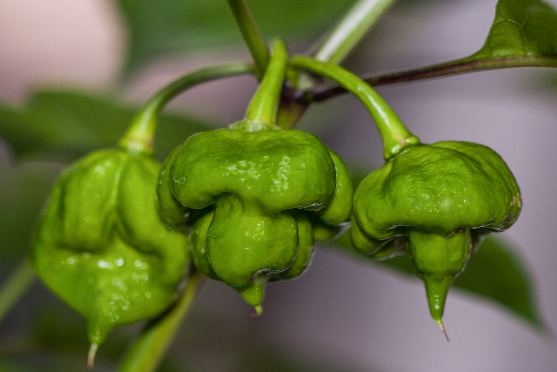PI 640817 - Capsicum annuum - Chilisorte