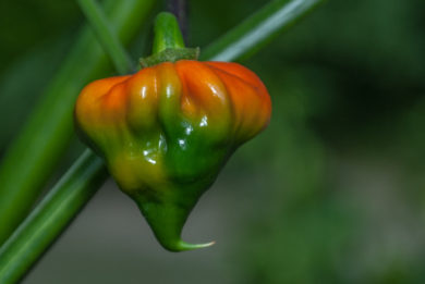 Bgh 298 - Capsicum sp.