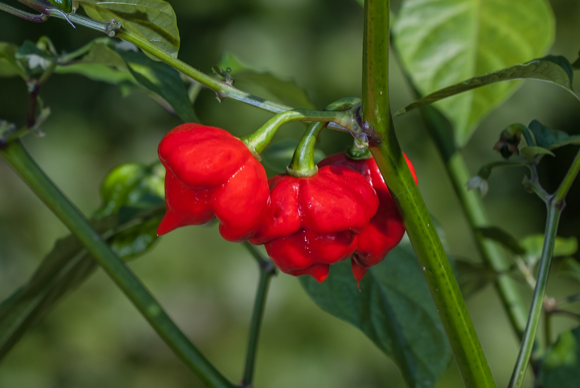 Biber - Capsicum annuum - Chilisorte