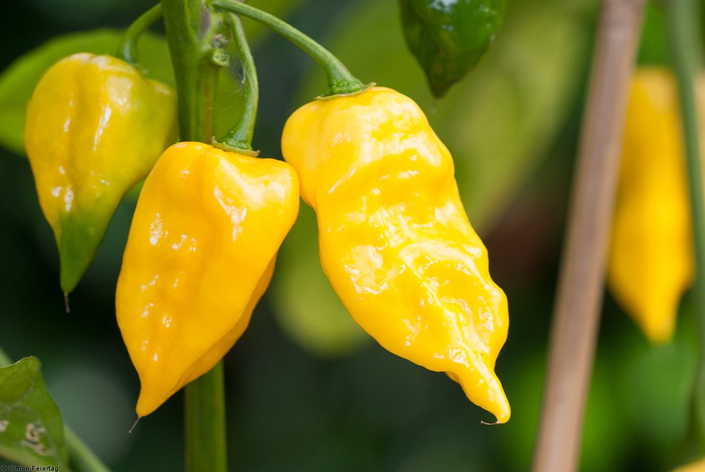 Habanero Hot Lemon - Chilisorte