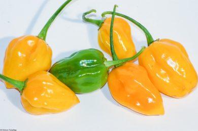 Habanero Tangerine Bell