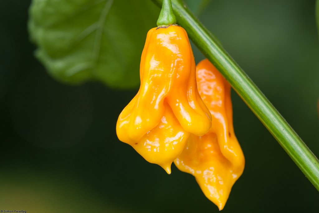 Jamaican Scotch Bonnet Long
